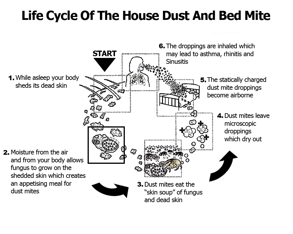 life cycle of the house dust mite